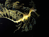 Leafy Sea Dragon Fish, Phycodurus Eques