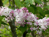 Close Up of a Flowering Lilac Shrub, Syringa Species, in Springtime