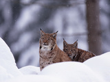 A Pair of Captive Eurasian Lynxes, Lynx Lynx, in a Snow Shower