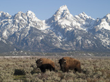 Buffalo or Bison Bulls, Bison Bison, in Front of the Teton Range