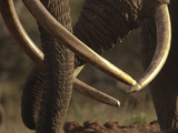 Close Up of Two African Elephants, Loxodonta Africana