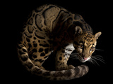 An endangered clouded leopard, Neofelis nebulosa, at the Houston Zoo.