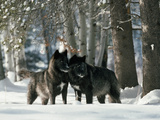 Black Gray Wolves in a Curious and Playful Stance