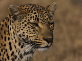 Portrait of a Leopard, Panthera Pardus