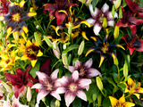 A Showy Arrangement of a Mix of Lily Flowers, Lilium Species
