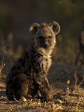 Portrait of a Spotted Hyena Pup, Crocuta Crocuta