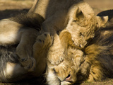 Lion and Cub, Panthera Leo, Socializing in their Enclosure