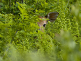 A Day-Old White-Tailed Deer Fawn Hiding in a Bed of Ferns
