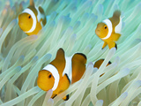 Buy False Clown Anemonefish on an Anemone, Sabonan Island at AllPosters.com