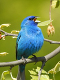 A Male Indigo Bunting, Passerina Cyanea, Singing a Territorial Song