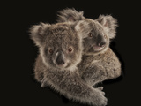 Joeys Cling to Each Other before Being Placed with Human Caregivers