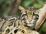 Portrait of a Clouded Leopard, Neofelis Nebulosa, a Vulnerable Species