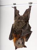 A Vulnerable Grey-Headed Flying Fox, Pteropus Poliocephalus