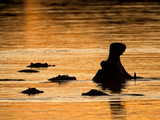 A Group of Silhouetted Hippopotamuses in Water at Sunrise