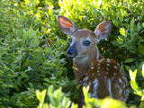 A Day-Old White-Tailed Deer, Odocoileus Virginianus, Hiding in Shrubs