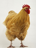 An Orpington, a Rare Breed of Chicken from Tatton Park Farm