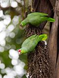 Two Red-Lored Amazon Parrots, Amazona Autumnalis