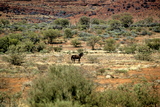 Wild Horse in the Outback