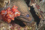Giant Moray Eel (Gymnothorax Javanicus), Southern Thailand, Andaman Sea, Indian Ocean