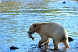 Spirit Bear (Kermode Bear) with Salmon Catch, Great Bear Rainforest, British Columbia, Canada