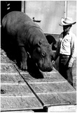 Circus Hippo Archival Photo Poster