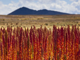 Red Quinoa Is Ripe and Ready to Harvest  on Bolivia's High-Altit