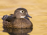 A Female Wood Duck (Aix Sponsa) on a Small Pond in Southern California.
