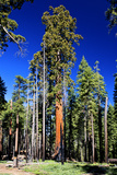 Buy Sequoia - Mariposa Grove Museum - Yosemite National Park - Californie - United States at AllPosters.com