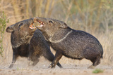 Collared Peccary Bird or Javelina Fighting, Texas, USA