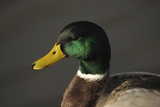 Close Up of Male Mallard Duck, Commonwealth Lake Park, Beaverton, Oregon, USA