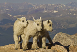 Mountain Goats, Mount Evans, Colorado, USA