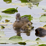 Wood Ducks, Female and Duckling Wildlife, Juanita Bay Wetland, Washington, USA