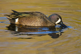 Blue-Winged Teal Duck Feeding in Freshwater Pond