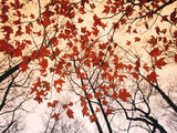 Red Maple and Autumn Sky Art Print