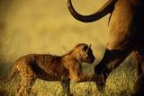 African Lion Cub (Panthera Leo) Follows Its Mother