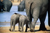 Two African Elephant Calves (Loxodonta Africana) Walking with Their Mother to a Rain Water Pond