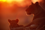 African Lions (Panthera Leo) - Female and Cub At Twilight, with the Lioness Looking for Prey