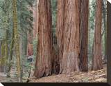 Buy Sequoia General Sherman Grove 3 at AllPosters.com