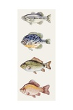 Buy Largemouth Bass, Pumpkinseed, Crucian Carp School, Goldfish at AllPosters.com