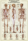 Buy Skeletal System at AllPosters.com