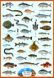 Buy Fish Sea at AllPosters.com