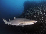 Sand Tiger Shark Swims by the Wreck of USCGC Spar