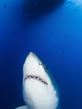 Male Great White Shark Showing Teeth, Guadalupe Island, Mexico