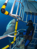Diver Observes a Male Great White Shark from inside a Shark Cage