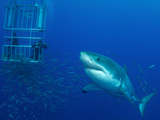 Male Great White Shark And Divers, Guadalupe Island, Mexico