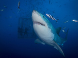 Great White Shark And Pilot Fish, Guadalupe Island, Mexico