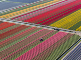 Tractor in Tulip Fields, North Holland, Netherlands