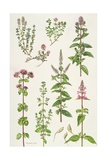 Thyme and Other Herbs
