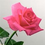 Pink Rose, 2005