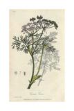Caraway, Carum Carvi, From William Baxter's British Phaenogamous Botany, 1837